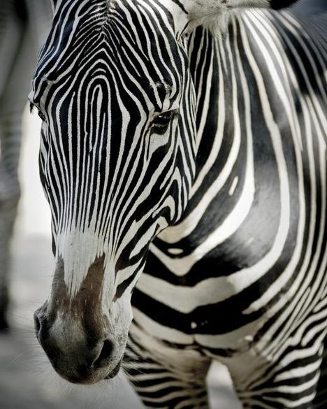 Zebra Art Prints by June Lee - Shop Canvas and Framed Wall Art P...