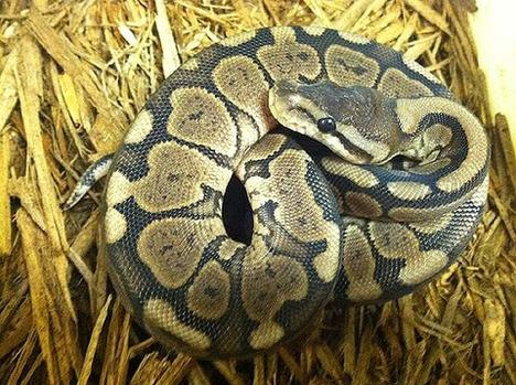 Cinnamon Woma Ball Python- Well Started Male