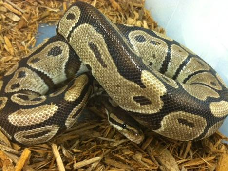 Het Albino Ball Python- Adult Male