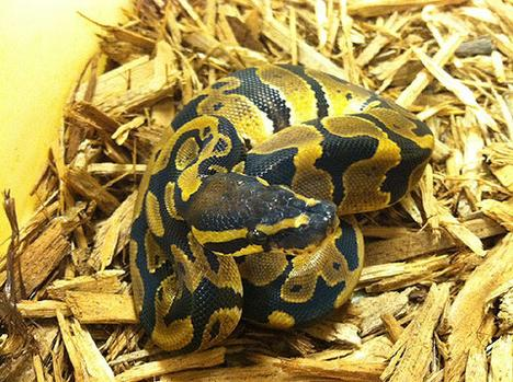 Het Pied Ball Python- Male