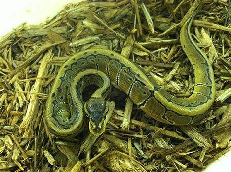 Pinstripe Ball Python- Male