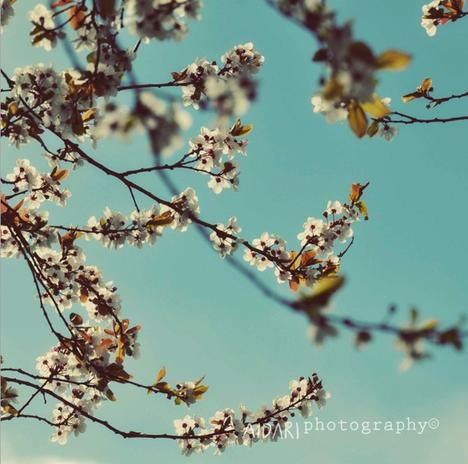Spring Cherry Blossoms, Fine Art Photography, Spring, Flowers, Robin...