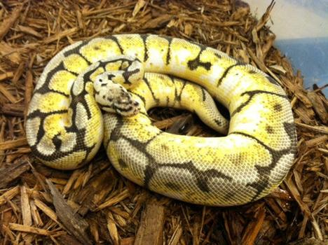 BumbleBelly Ball Python- Adult Male