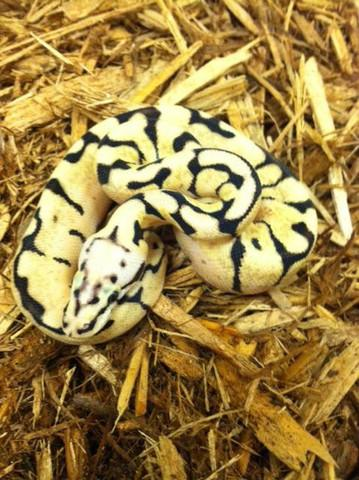 Bumblebee Ball Python- Male
