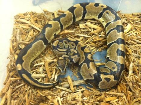 Het Caramel Albino Ball Python- Adult Male